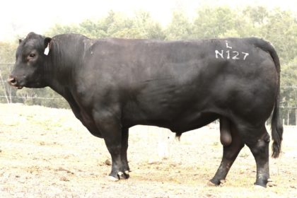 His photo was taken the day after he left cows, a bull with plenty of do-ability!